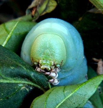 celeste-m-evans-hornworm-2