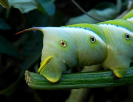 celeste-m-evans-hornworm-5