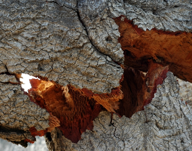 Broken dead oak branch still somewhat attached to the main tree. Ojai Wetlands Preserve, October 2016