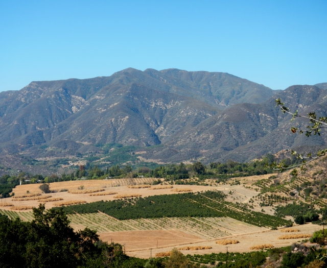 What look like pancakes on a hot griddle are actually piles of removed orange trees. Upper Ojai, 2014