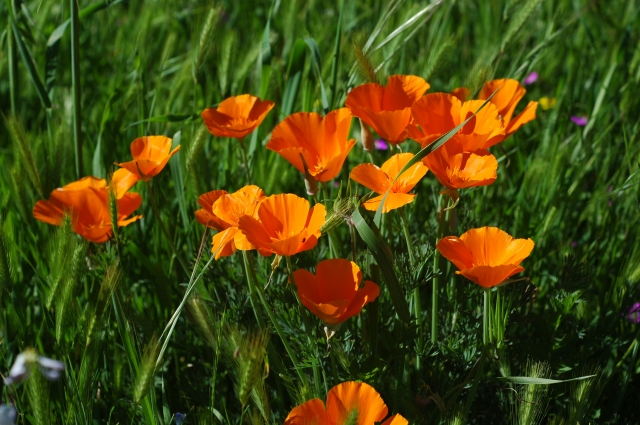 California Poppies, the State flower, returned again to the meadow. Wetlands, March 2016